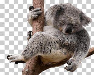 Koala Bear Sloth PNG
