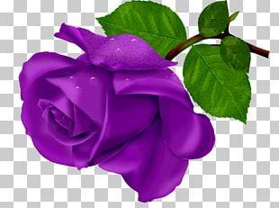 Beach Rose Flower Purple PNG