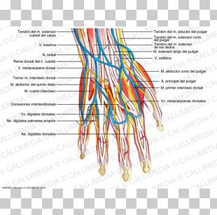 Blood Vessel Nerve Human Body Human Anatomy Nervous System PNG