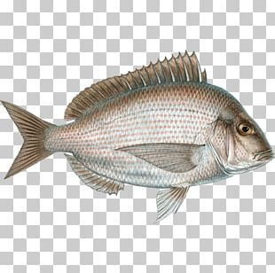 Northern Red Snapper Seafood Tilapia Cod Fish Products PNG