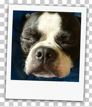Boston Terrier Puppy Dog Breed Bull Terrier PNG