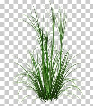 Corkscrew Rush Fountain Grass Ornamental Grass Spreading Rush PNG