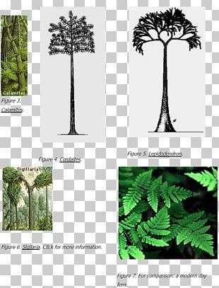 Pine Family Carboniferous Coal Flora Tree PNG