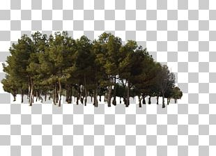 Pine Tree Forest PNG