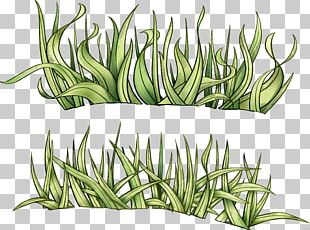 Grass Drawing Herbaceous Plant PNG
