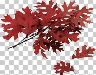 Northern Red Oak Swamp Spanish Oak Autumn Leaf Color Quercus Coccinea PNG