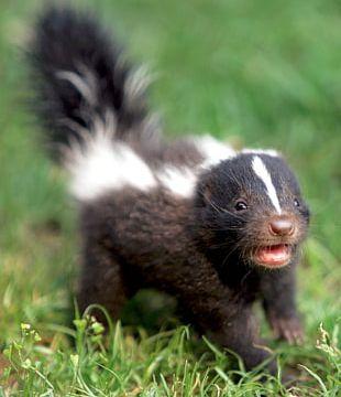 Striped Skunk Infant Cuteness Dog PNG