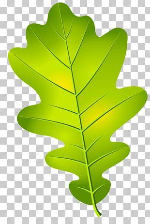 Oak Leaf Cluster Acorn Tree PNG