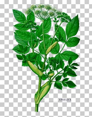 Wild Angelica Norwegian Angelica Female Ginseng Herb Plants PNG