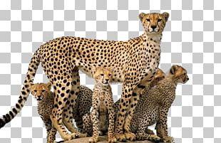 Cheetah PNG
