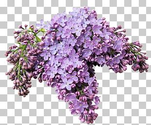 Lilacs In A Window Flower Internet PNG