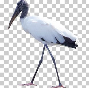 Bird White Stork Feather PNG