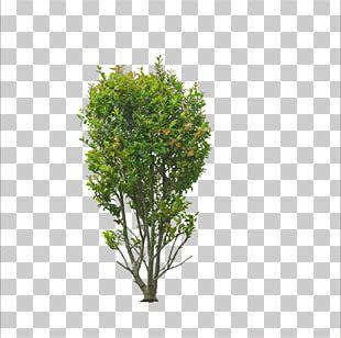 Sweet Osmanthus Tree Bonsai Shrub Garden PNG