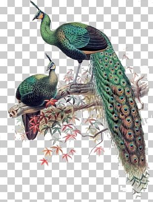 Green Peafowl Bird Asiatic Peafowl Phasianidae PNG