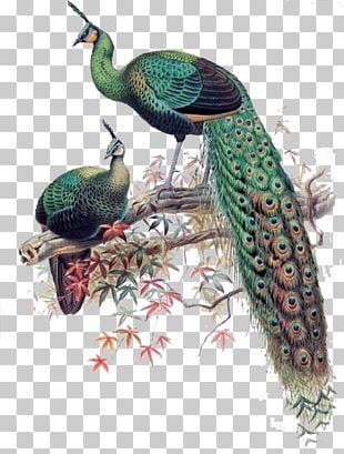 Green Peafowl Bird Asiatic Peafowl Phasianidae PNG