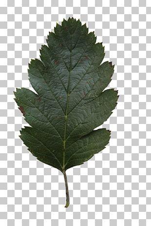 Leaf Tree Oak Alnus Glutinosa PNG