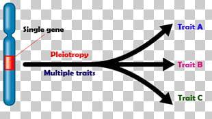 Pleiotropy Genetics Phenotype Biology PNG