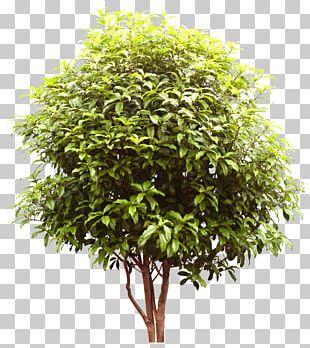 Tree Shrub Digital PNG