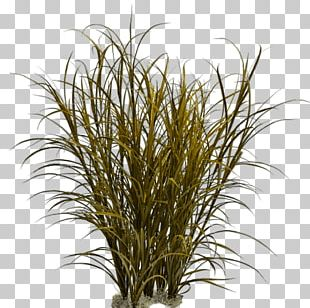 Grasses Ornamental Grass Weed Pennisetum Alopecuroides PNG