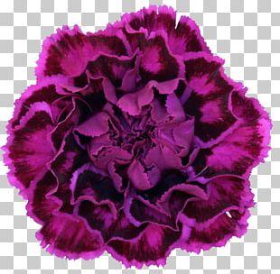 Carnation Flower Violet Purple Dianthus Chinensis PNG