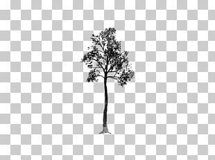 Pine Family Leaf Plant Stem Flowering Plant PNG