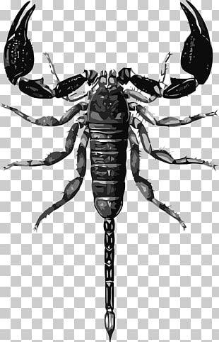 Scorpion Drawing Biological Illustration PNG