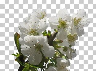 Cherry Blossom Tree Pruning PNG