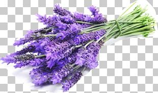 English Lavender Lavender Oil Lavandula Latifolia French Lavender PNG