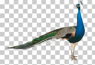 Pavo Stock Photography Asiatic Peafowl PNG