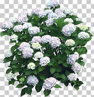 Flower Hydrangea Shrub Plant PNG