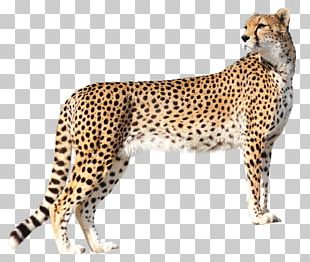 Cheetah Felidae PNG