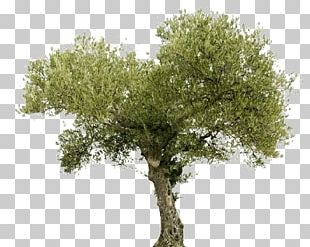 Tree Olive Oil Arahal Food PNG