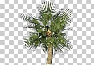 Asian Palmyra Palm Chamaerops Humilis Sabal Palm Arecaceae Plant PNG