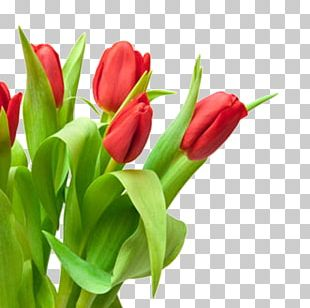 Tulip Red Flower Bouquet White PNG