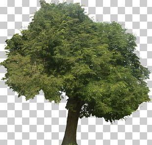 Tamarind Tree Tropical Africa Arecaceae Castanospora PNG