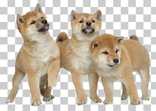 Shiba Inu Akita Puppy Yorkshire Terrier Stock Photography PNG