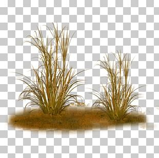 Ornamental Grass Feather Reed Grass Texture Mapping Plant PNG