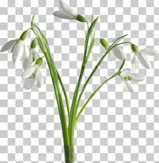 Snowdrop Desktop Flower Spring PNG