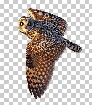 Short-eared Owl Bird Flight Little Owl PNG