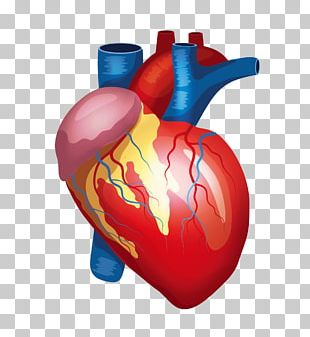 Heart Liver Kidney Human Body Organ PNG