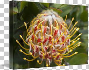 Sugarbushes Spider Flower Close-up PNG