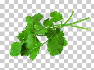 Coriander Herb Medicinal Plants Leaf PNG