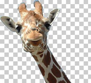 Northern Giraffe Animal Computer Icons PNG