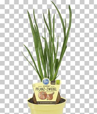 Onion Allium Fistulosum Furniture Harvest Bedroom PNG