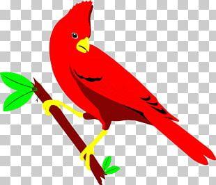 St. Louis Cardinals Northern Cardinal Bird PNG