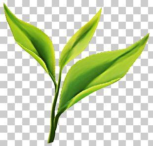 Green Tea Matcha Darjeeling Tea Tea Plant PNG