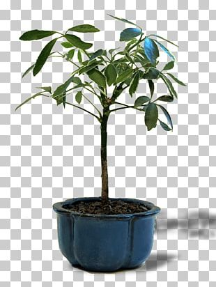 Chinese Sweet Plum Tree Bonsai Chinese Elm Flowerpot PNG