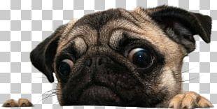 Puggle Shar Pei Coton De Tulear Maltese Dog PNG