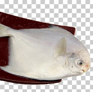Deep Sea Fish Pampus Argenteus PNG