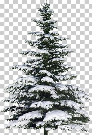 Spruce Christmas Tree Fir Poster PNG